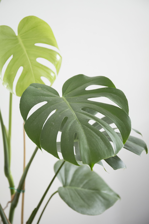 plantes d 39 int rieurs archives vert bobo. Black Bedroom Furniture Sets. Home Design Ideas