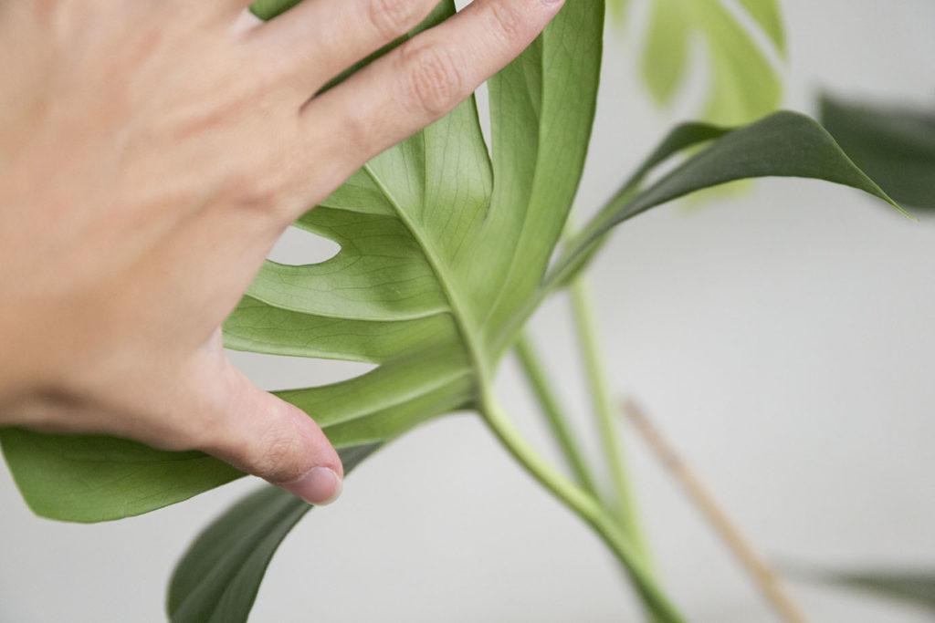 plante monstera interieur