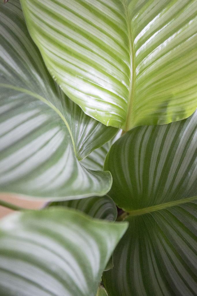 calathea ombre plante