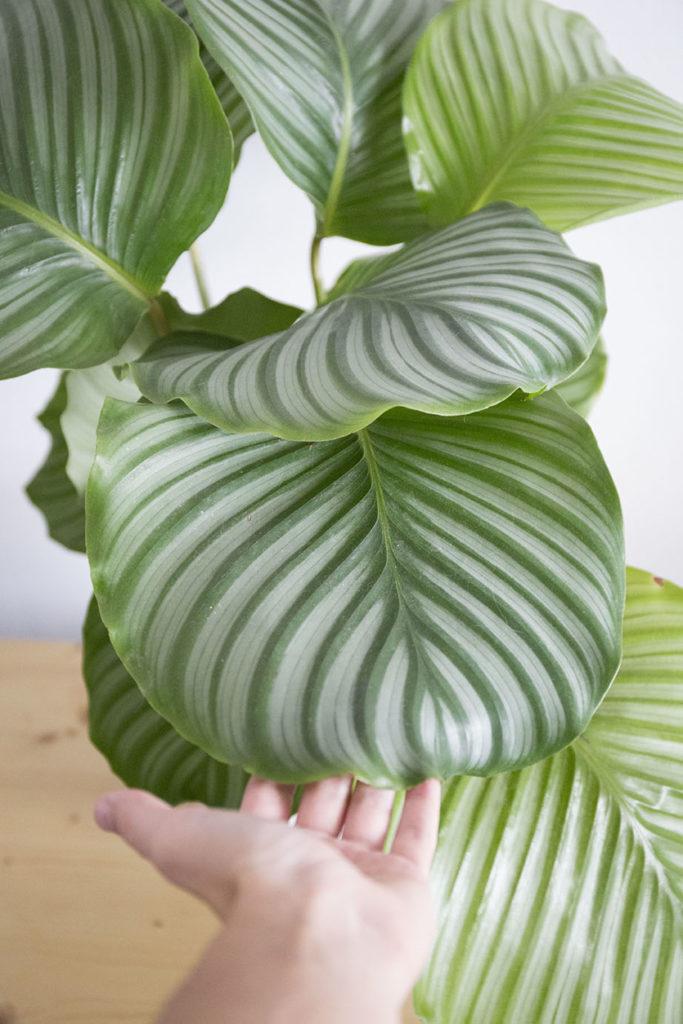 calathea orbifolia plante