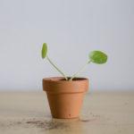 plante bouture pilea