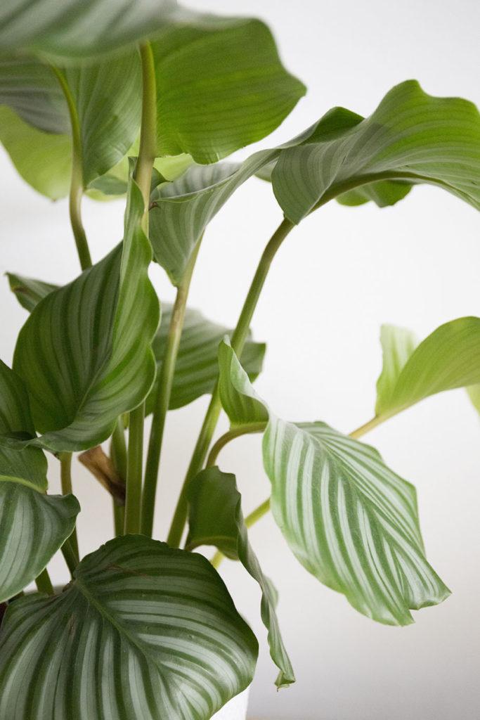 plante calathea orbifolia