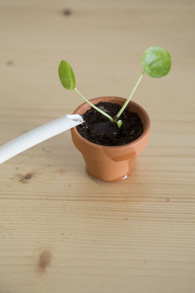 plante pilea bouture