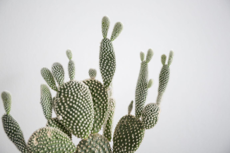 plante verte cactus