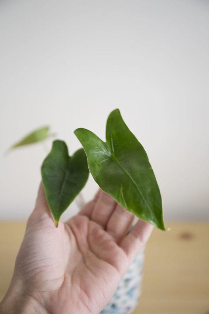 alocasia plante grande