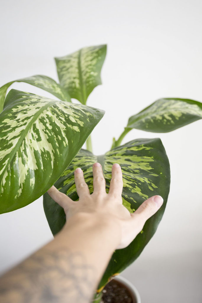 grande plante dieffenbachia