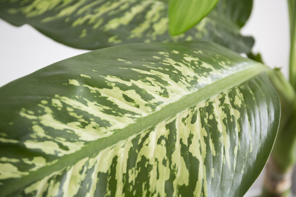 grande plante feuille panache