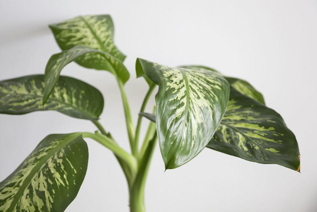 panache grande plante