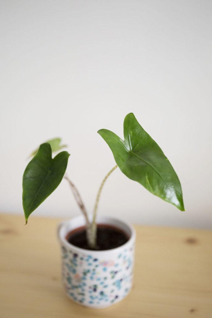 plante alocasia grande
