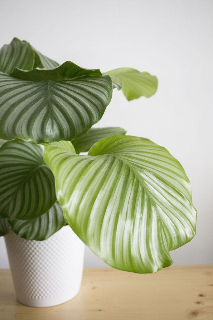 plante depolluante calathea