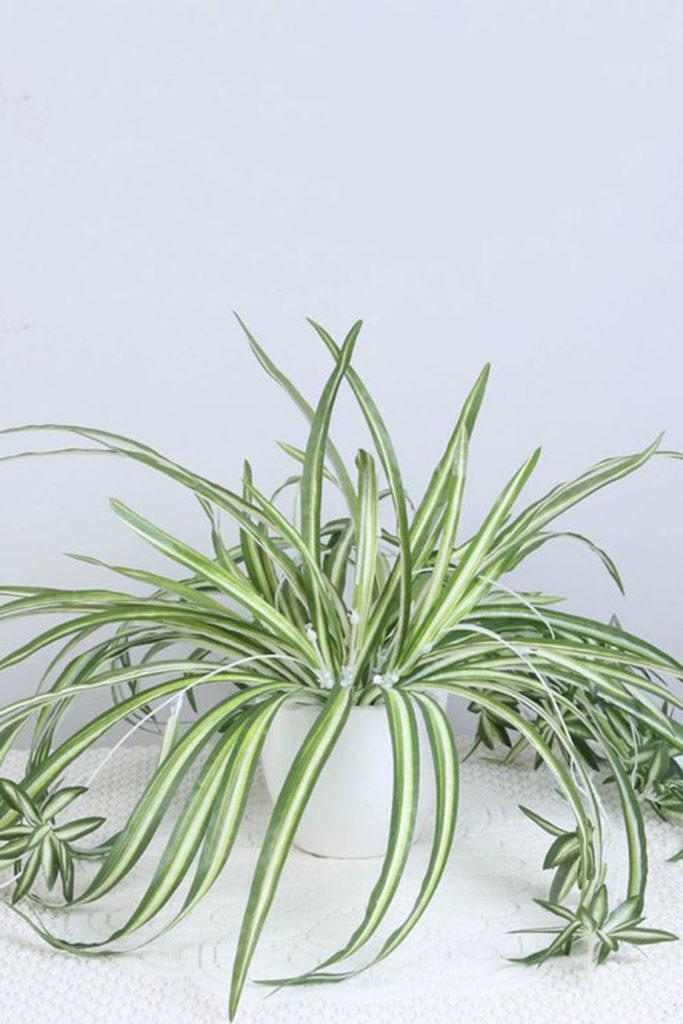 plante depolluante chlorophytum