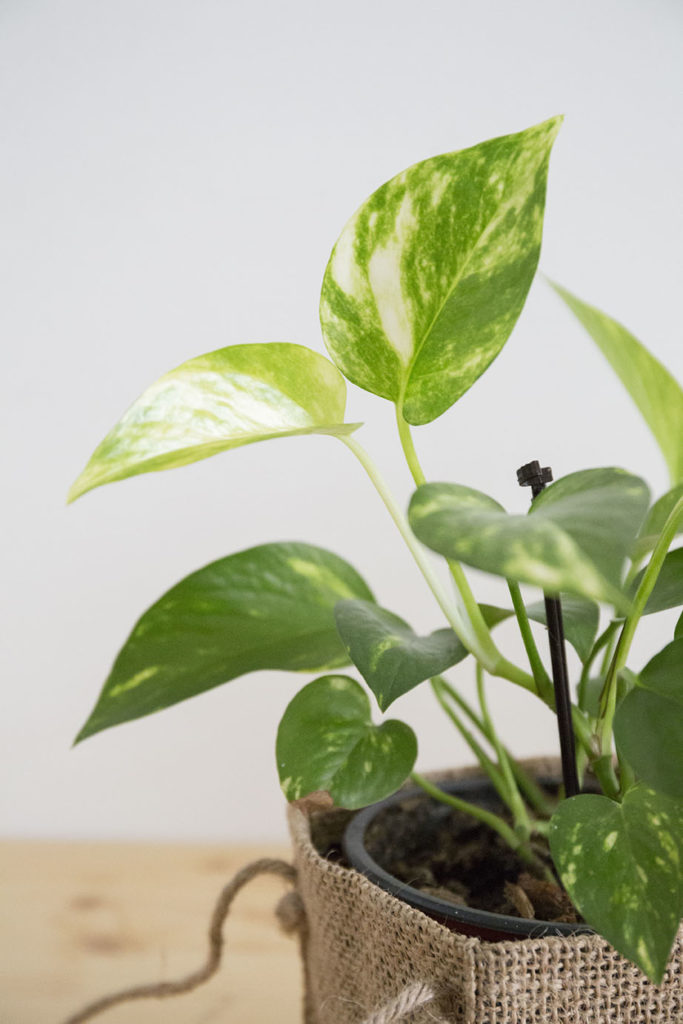 plante depolluante pothos
