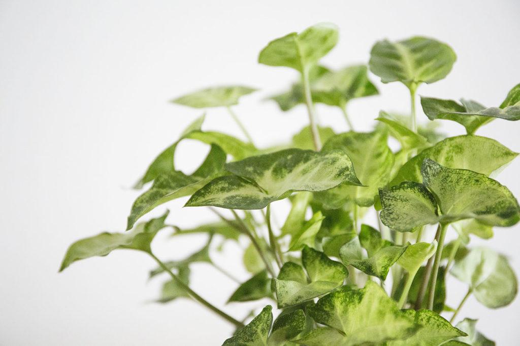 interieur plantes syngonium