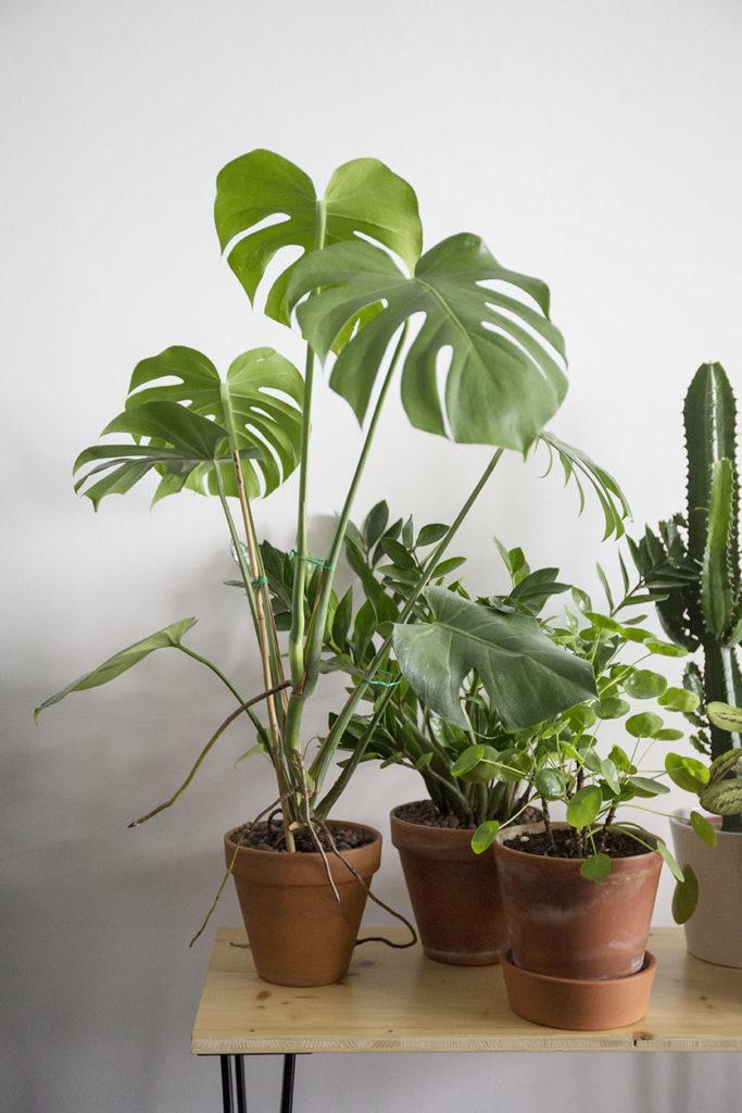 monstera pilea plantes