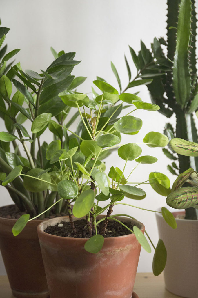plantes pilea robuste