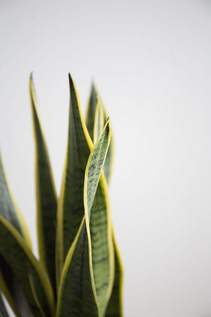 sansevieria plante verte