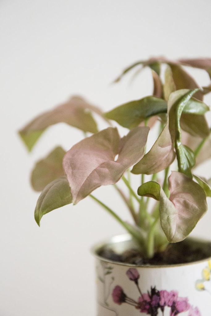 syngonium plante rose