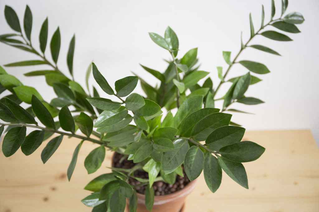 verte plante zamioculcas