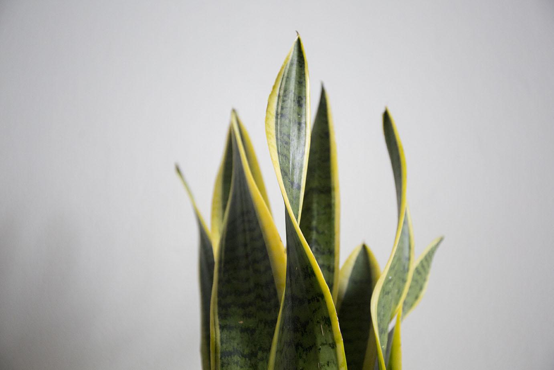 verte sansevieria plante