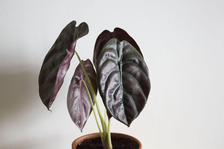 alocasia cuprea plante