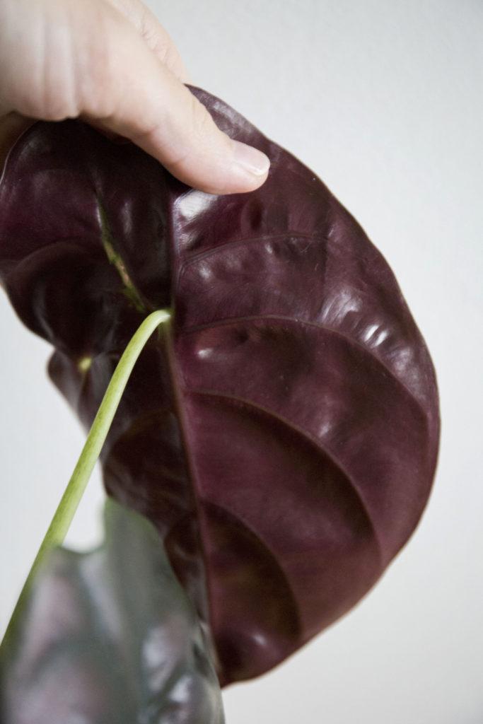 alocasia plante cuprea