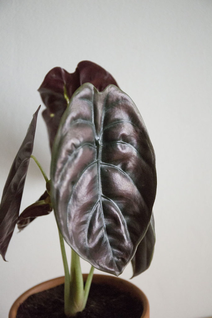 plante alocasia cuprea