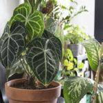 anthurium plante verte