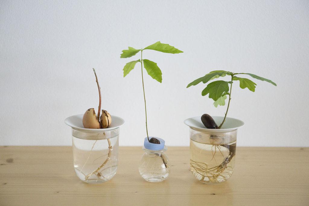 germination sprout graine